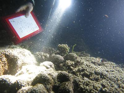 2020年!『 キクメイシ科!珊瑚の産卵ツアー 』第2弾!!8月○○日!産卵を見れる確率《超絶UP!!》のイメージ