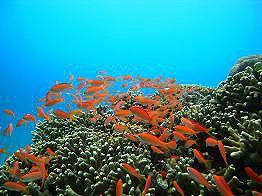 7月23~26日!《☆石垣島&西表島!3泊4日★8ダイブ付き!》マンタに、世界最高峰の珊瑚の樹海!を楽しむ!!yoshiお勧めの2島巡りツアー!!のイメージ
