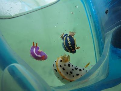 2月21日(日)『松江!』でダイビングを楽しもう!!そろそろレア物の幼魚が現れる季節です!!のイメージ
